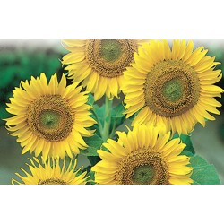 Tournesol Large seeded Tall